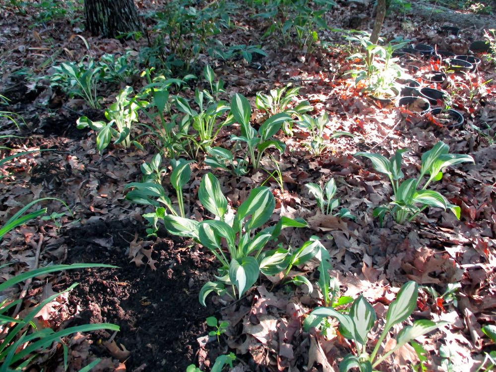 My sister-in-law's visiting New York hostas have established themselves well in my garden. (Photo by Charlotte Ekker Wiggins)