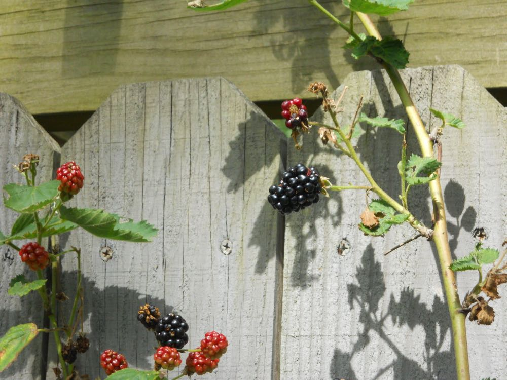 Blackberries ripen in June around the same time as mulberries. (Photo by Charlotte Ekker Wiggins)