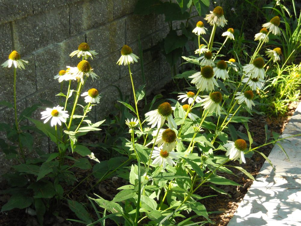 Native flowers such as coneflowers start to bloom this month and continue until fall frost. (Photos by Charlotte Ekker Wiggins)
