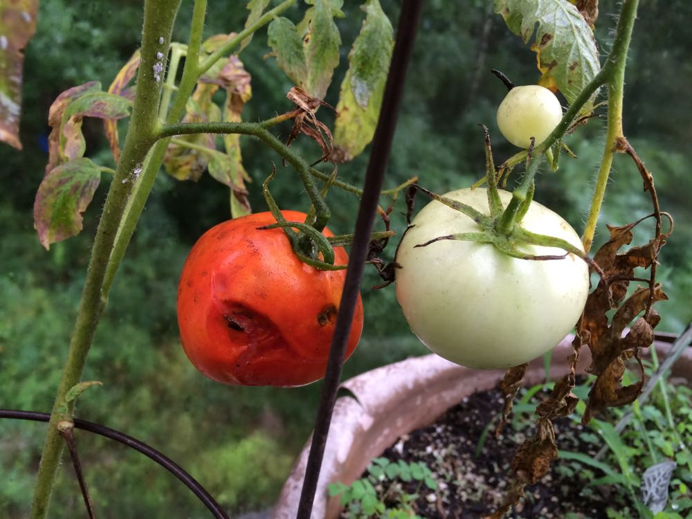 This tomato is definitely in trouble for several reasons! (Photo by Charlotte Ekker Wiggins)