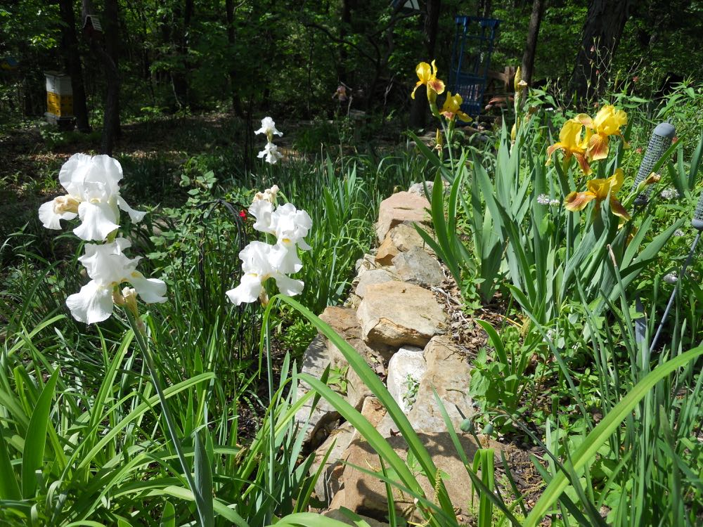White and yellow iris were added last year courtesy of a couple of friends. (Photo by Charlotte Ekker Wiggins)