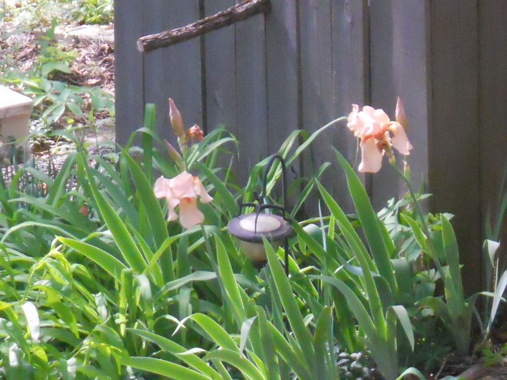 My peach bearded iris have bloomed in this spot for years. (Photo by Charlotte Ekker Wiggins)
