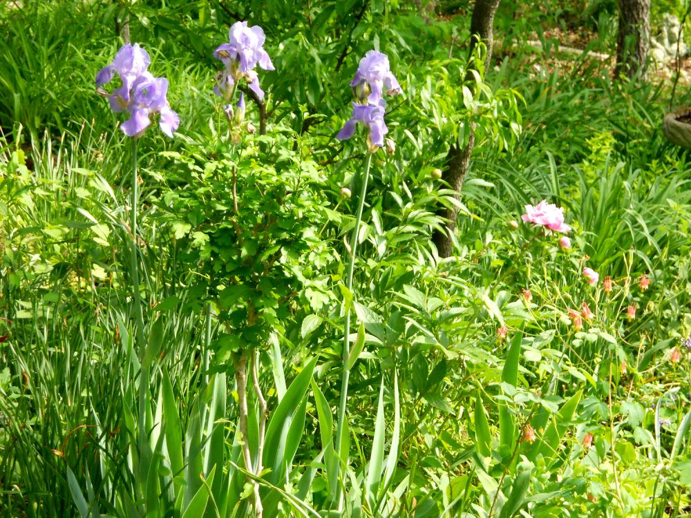 Mom's irises in another spot blooming along with peonies and columbine. (Photo by Charlotte Ekker Wiggins)