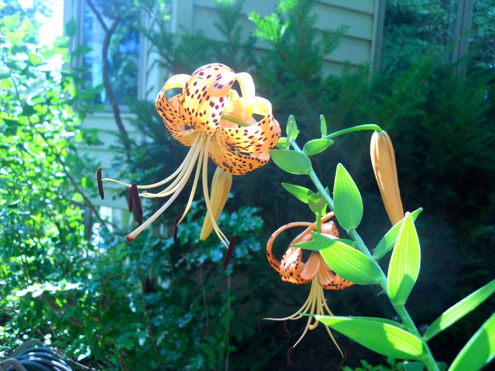 Tiger lilies have started to bloom in my Missouri hillside garden, a sure sign of summer.