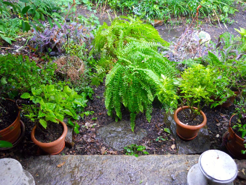 Give inside and deck plants a good rain shower or two during very hot spells.