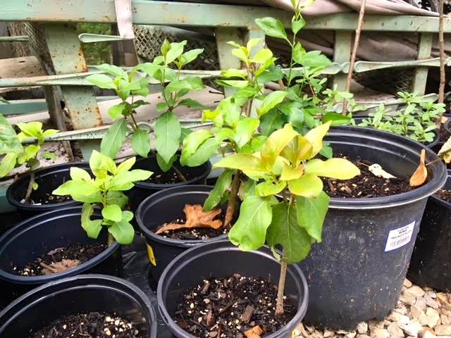 Time to plant  trees  in the garden, these are bare roots I potted late spring.