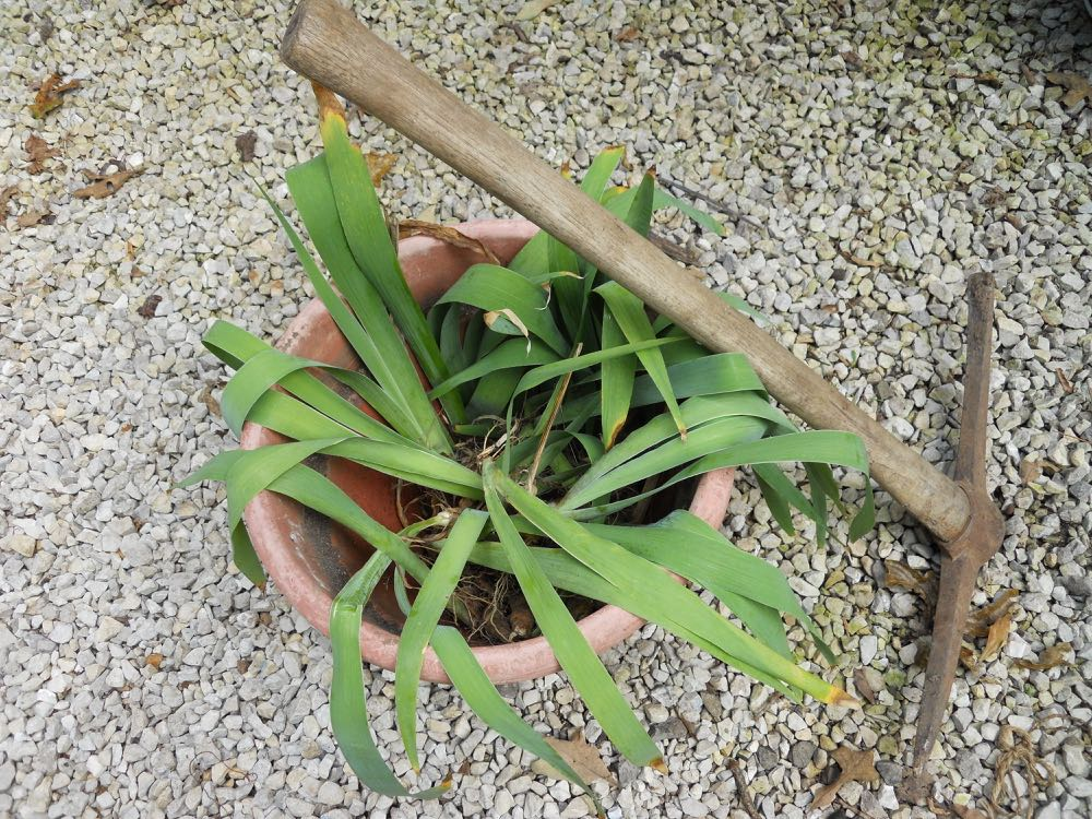 Pick ax makes digging easier although I prefer to wait for a day after a good rain. These iris are ready to move to their new garden spot. (Photo by Charlotte Ekker Wiggins)