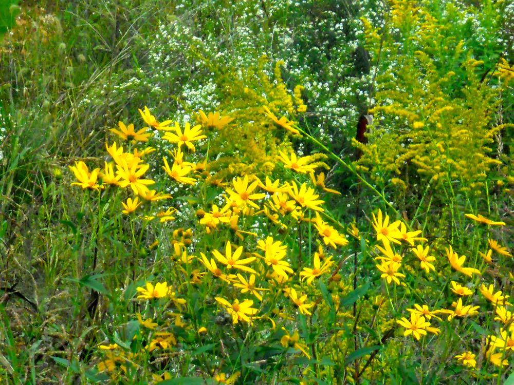 So pretty, Missouri yellow wildflowers blooming along a roadside. (Photo by Charlotte Ekker Wiggins)