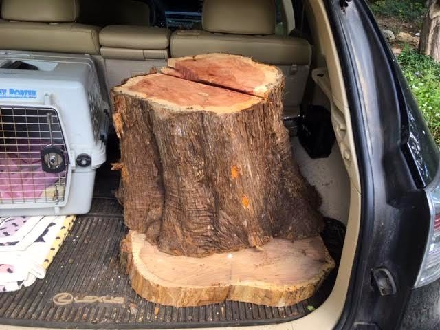 cedar tree stumps going home.jpg