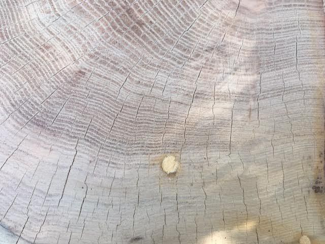 Rings in the cedar stump mark the age of the tree. (Photo by Charlotte Ekker Wiggins)