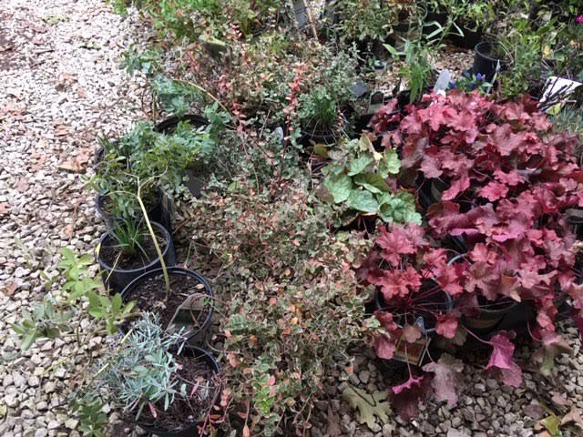 Part of my stash of sale plants I am getting into the ground in late October in mid-Missouri. (Photo by Charlotte Ekker Wiggins)