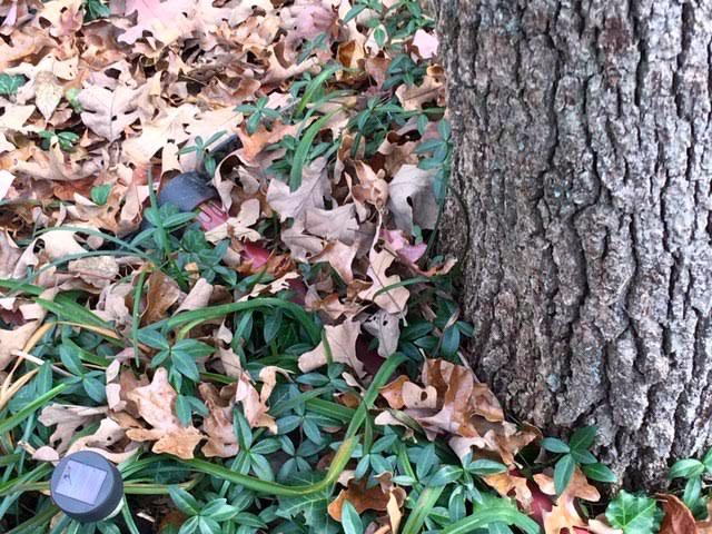 Do you see it hiding in the leaves and vinca? (Photo by Charlotte Ekker Wiggins)