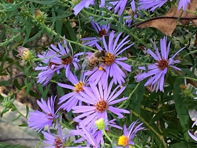 One of my honeybees visiting New England Asters. (Photo by Charlotte Ekker Wiggins)