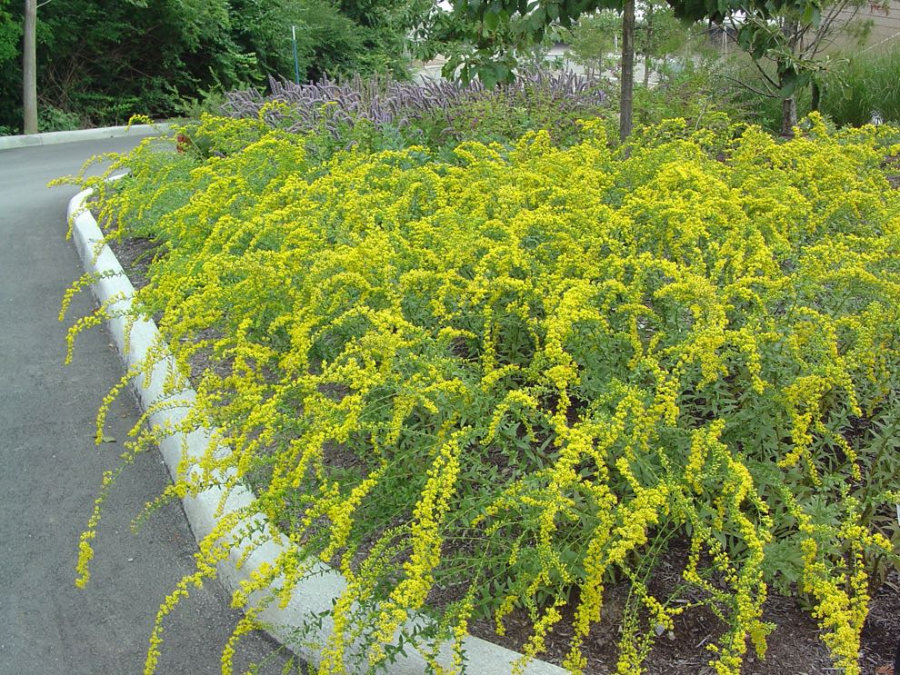 Goldenrod in formal flower bed provides bees fall food. (Photo by Charlotte Ekker Wiggins)