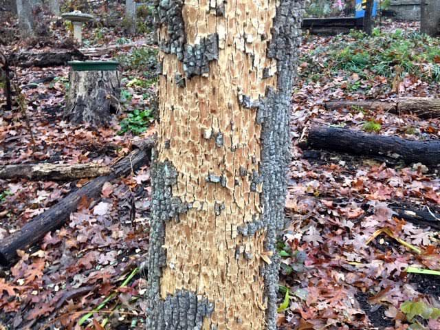 Emerald ash borer larvae in ash tree in my garden. (Photo by Charlotte Ekker Wiggins)
