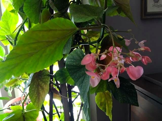 This is my one begonia, more like an Angel Wing Begonia tree, now in bloom. (Photo by Charlotte Ekker Wiggins)