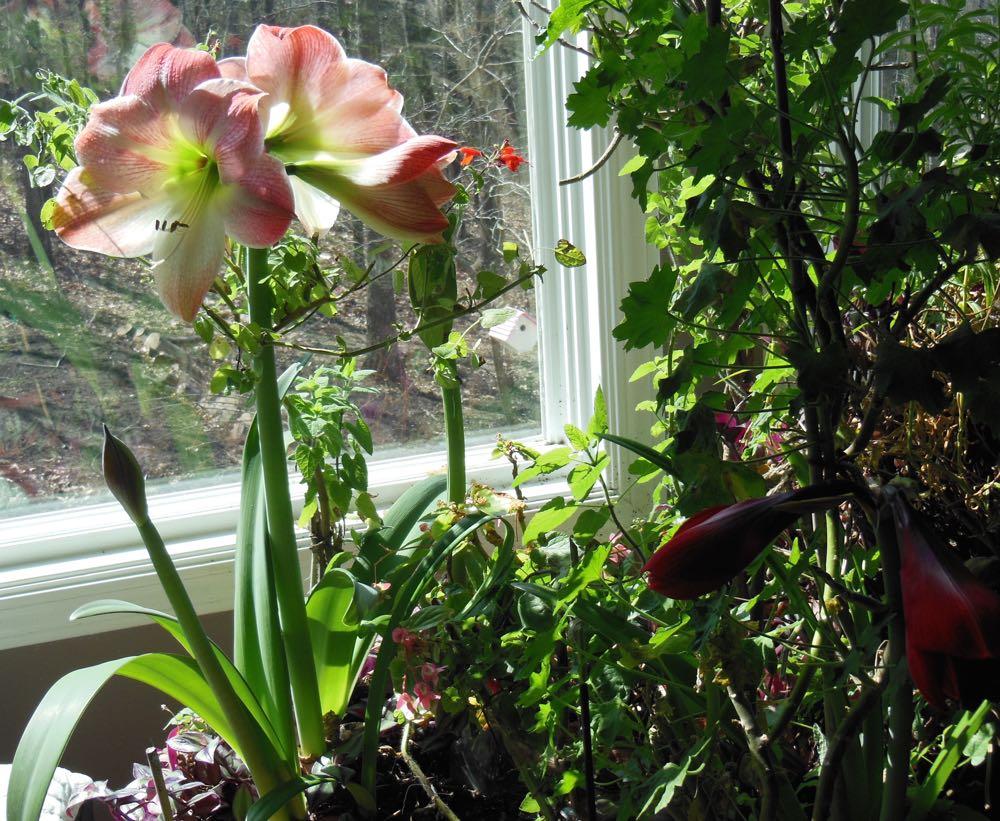 Apple Blossom Amaryllis in bloom last year in one of my bay windows. (Photo by Charlotte Ekker Wiggins)