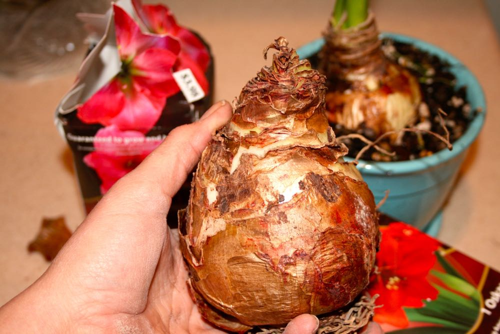 This is how an amaryllis bulb usually comes out of a box. (Photo by Charlotte Ekker Wiggins)