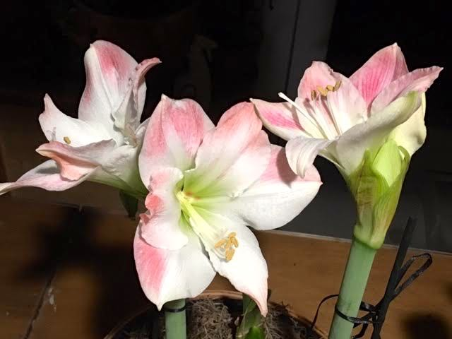 I tied up these Apple Blossom Amaryllis stalks so the flowers didn't pull them over. (Photo by Charlotte Ekker Wiggins)