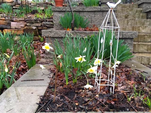 See the frilly trumpet on these light blond daffodils? (Photo by Charlotte Ekker Wiggins)