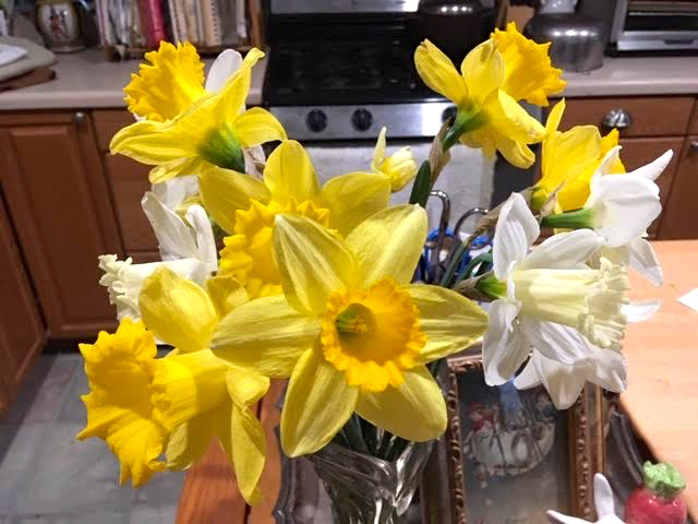 Most of these daffodils where picked in bud form. (Photo by Charlotte Ekker Wiggins)