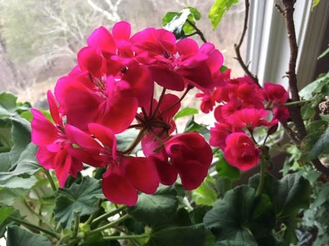My favorite geraniums are these raspberry-colored ones. (Photo by Charlotte Ekker Wiggins)