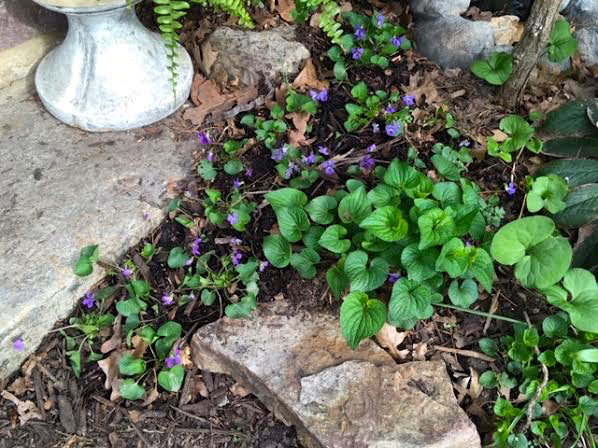 Recently-transplanted Missouri wild violets next to last year's cousins. (Photo by Charlotte Ekker Wiggins)