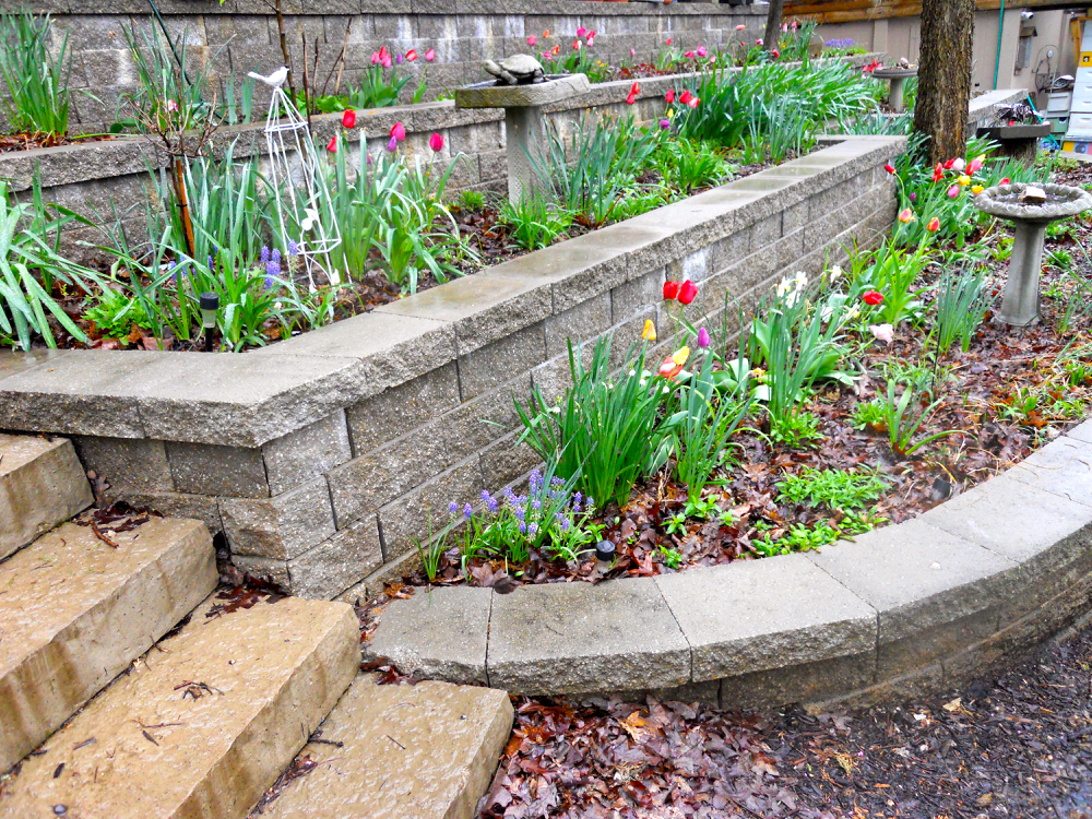 Small bunches of tulips brighten up my retaining wall gardens. (Photo by Charlotte Ekker Wiggins)