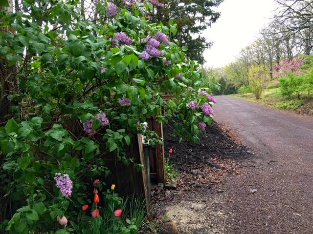 Old fashioned lilacs finally in bloom at the top of my driveway. (Photo by Charlotte Ekker Wiggins)