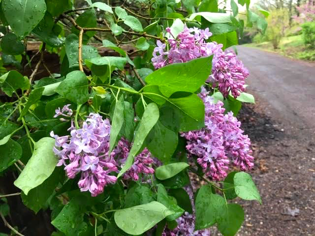 Running straight into these old-fashioned lilac flowers. (Photo by Charlotte Ekker Wiggins)
