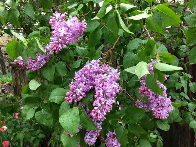 Aren't these old-fashioned lilac flowers just lovely? (Photo by Charlotte Ekker Wiggins)