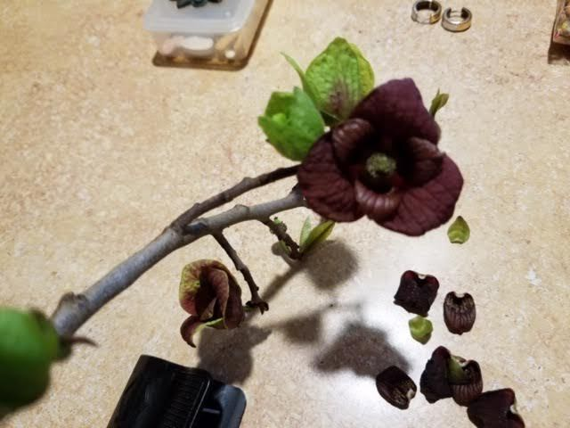 The telltale, native Missouri Paw Paw tree chocolate brown flowers. (Photo submitted)