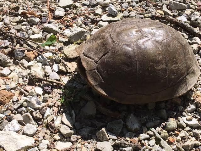 Box turtle closing up when I came close. (Photo by Charlotte Ekker Wiggins)