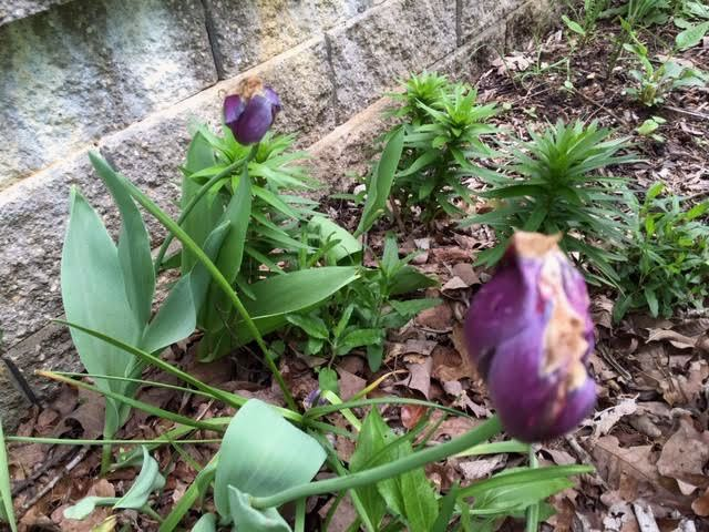 Daffodils and purple tulips are now fading in my garden. (Photo by Charlotte Ekker Wiggins)