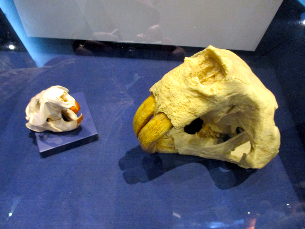 Today's beaver skull compared to the giant beavers that once lived in Missouri. (Photo by Charlotte Ekker Wiggins)