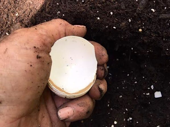 Add dry egg shells to the bottom of your planting holes. (Photo by Charlotte Ekker Wiggins)