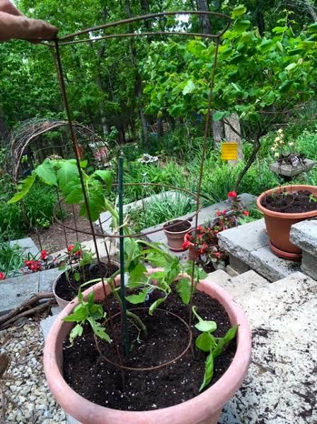 Add a tomato cage now or you may forget. I do! (Photo by Charlotte Ekker Wiggins)
