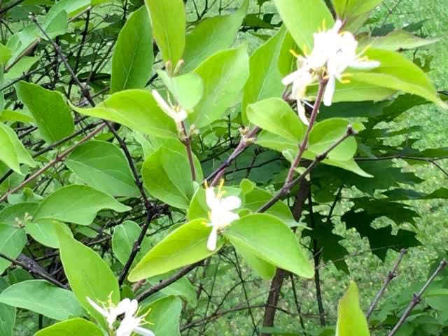 Bush honeysuckle has flowers very similar to the honeysuckle vine. (Photo by Charlotte Ekker Wiggins)
