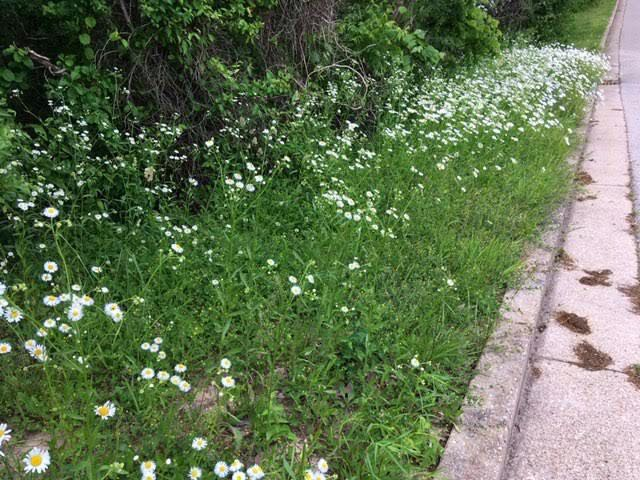 The Ox-eye Daisy patch next to my mail box. (Photo by Charlotte Ekker Wiggins)