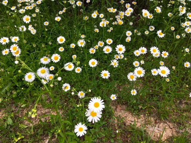 But are all of those daisies Ox-Eye Daisies? (Photo by Charlotte Ekker Wiggins)