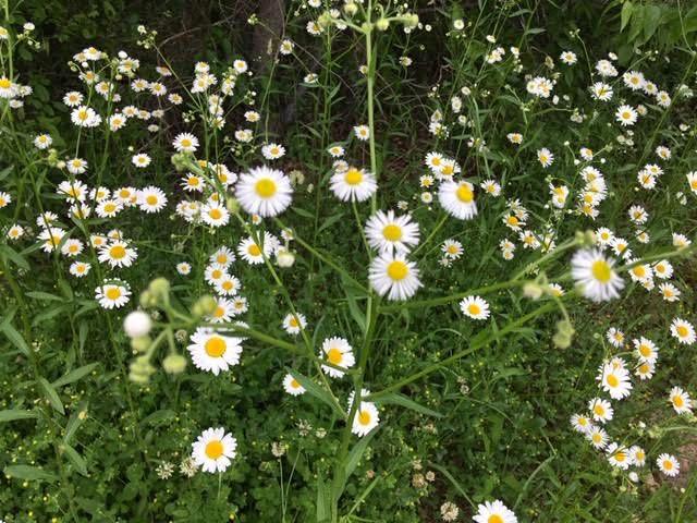 The more fringy daisies are Philadelphia fleabane. (Photo by Charlotte Ekker Wiggins)