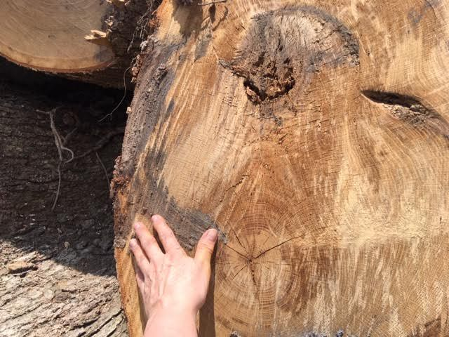 This is one of the tree trunks measuring about 7 hands across. (Photo by Charlotte Ekker Wiggins)