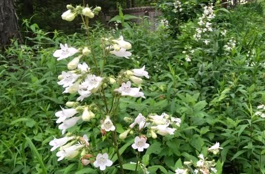 Beard-tongue,  Penstemon digitalis  , a Missouri native, is a lovely addition to any summer garden. (Photo by Charlotte Ekker Wiggins)