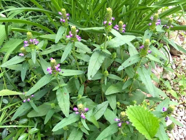 Here's one of the self heal bunches along one of my paths. (Photo by Charlotte Ekker Wiggins)
