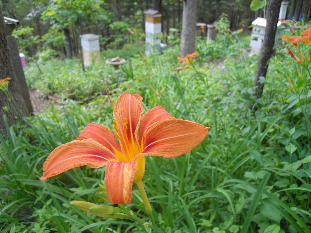 These are descendants from the original immigrant daylilies. (Photo by Charlotte Ekker Wiggins)