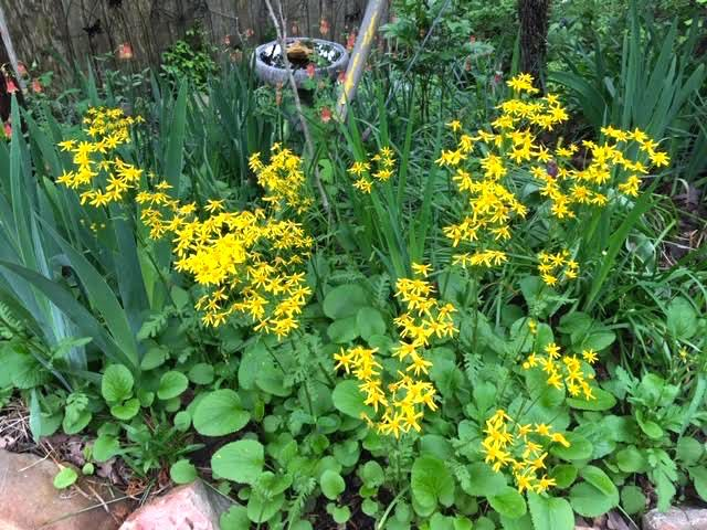 Squaw Weed blooming in my Missouri hillside garden. (Photo by Charlotte Ekker Wiggins)