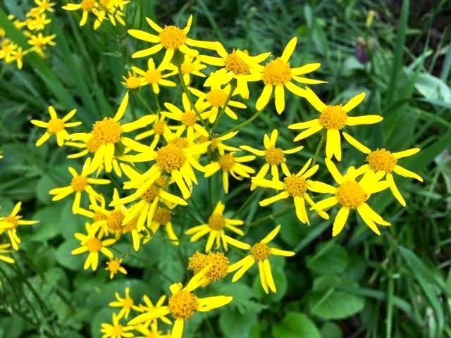 Squaw Weed flowers are similar to daisies and seed like dandelions. (Photo by Charlotte Ekker Wiggins)