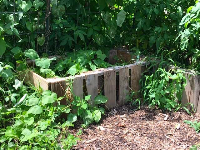 Zuchini is growing in this pallet raised bed at a friend's garden. (Photo by Charlotte Ekker Wiggins)
