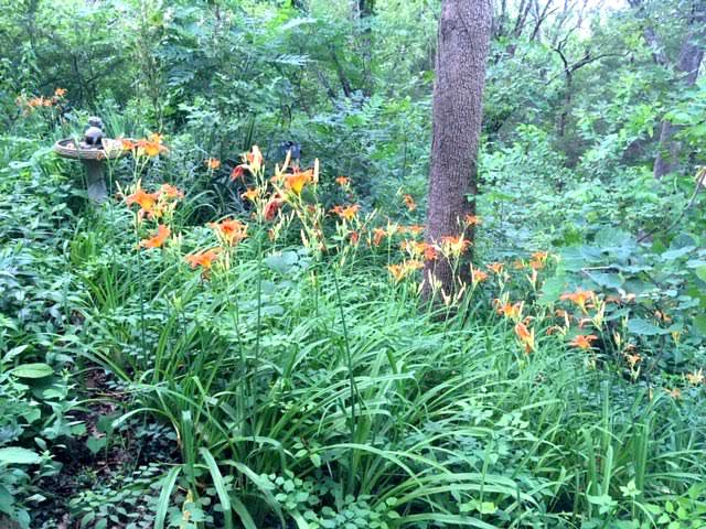 One of my limestone hillsides covered in Missouri's orange daylilies.(Photo by Charlotte Ekker Wiggins)