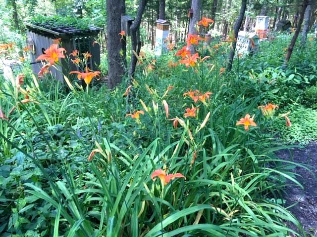 Missouri Orange Daylilies on the way to one of my apiaries. (Photo by Charlotte Ekker Wiggins)